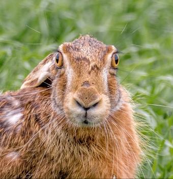 hare-field-2246752_1920